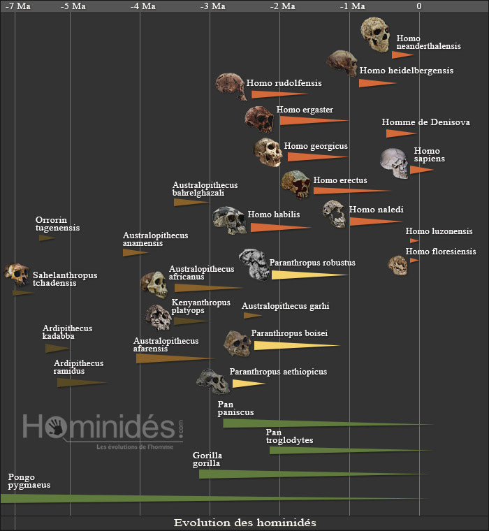 Arbre généalogique des hommes préhistoriques