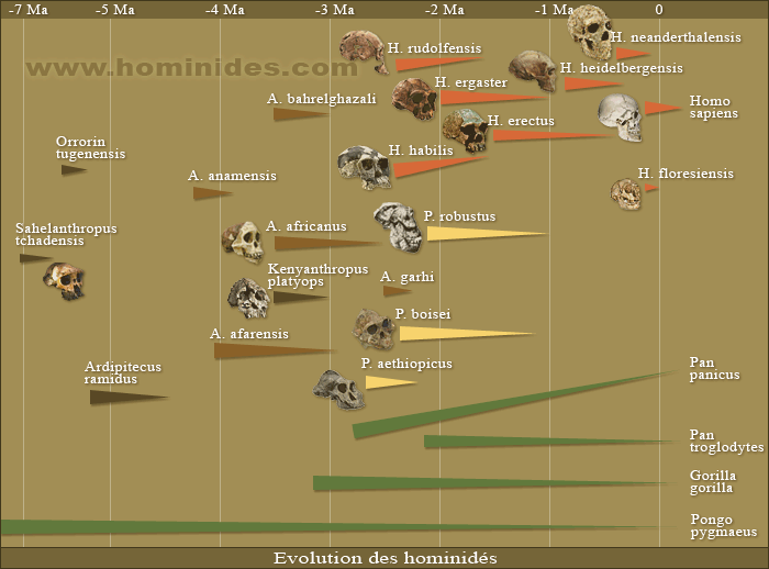http://www.hominides.com/data/images/buisson/evolution-des-hominides.png