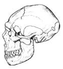 Crâne neandertal