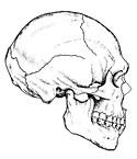 Crâne sapiens