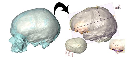 Etude aire de Broca chez les hommes préhistorique