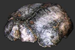 Crâne Swartkrans SK54 portant des traces de crocs