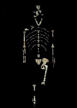 https://www.hominides.com/data/images/illus/ancetres/australopithecus-afarensis/squelette-autralopithecus-afarensis.jpg