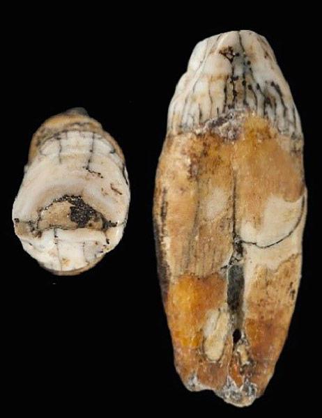 incisive-jersey-la-cotte-neandertal