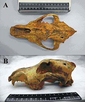 Un crâne de chien domestiqué trouvé en Sibérie et daté de - 33 000 ans