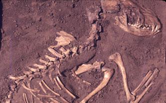 Fossile de chien Green County
