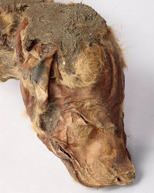 loup-des-neiges-50000-ans
