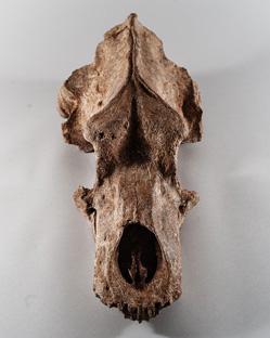 Néandertalien en bord de Saône Ours-des-cavernes-quincieux