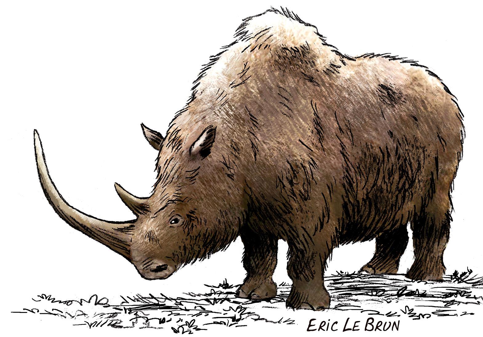 Le rhinoc ros laineux hominid s - Rhinoceros dessin ...