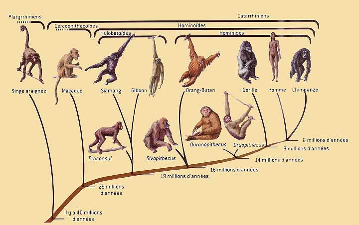 http://www.hominides.com/data/images/illus/arbrephilohominides.jpg