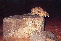 Crâne d'ours trouvé dans la grotte Chauvet