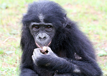 Bonobo en train de manger
