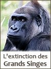 Extinction des grands singes
