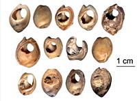 Parure de coquillage retrouvée au Maroc dans la Grotte des Pigeons