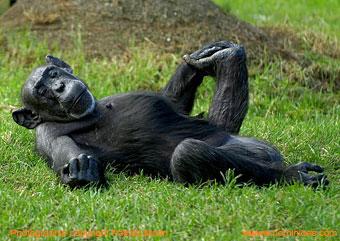 http://www.hominides.com/data/images/illus/singes/chimpanze-sur-le-dos.jpg