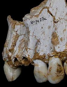 plaque-dentaire-neandertal-el-sidron