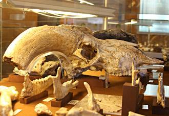 Crâne de moufflon